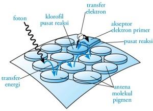 Kerja-fotosistem